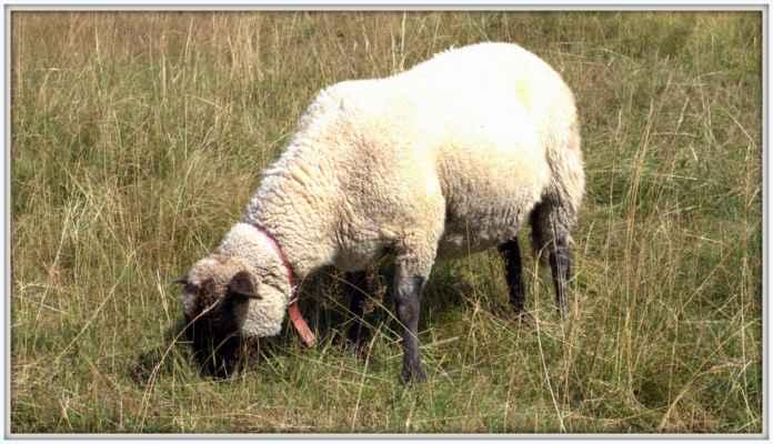 Ovce Madvědí bouda