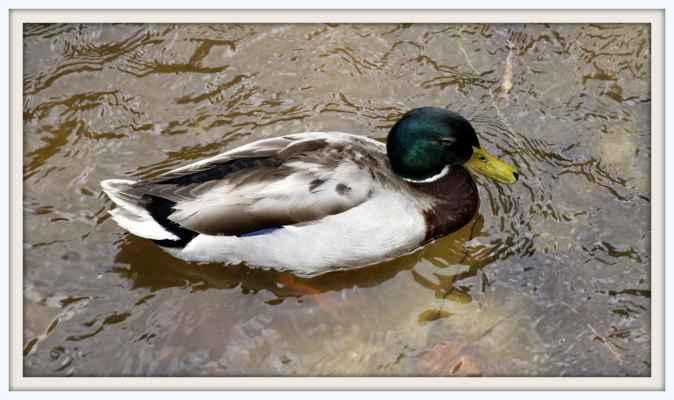 Kačer na rybníku