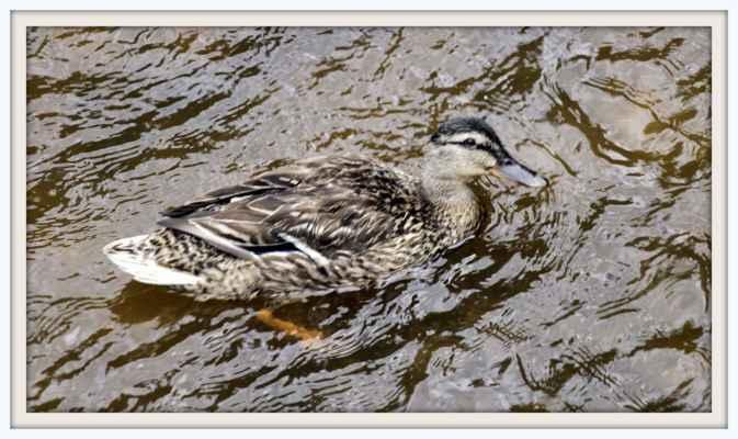 Kachna na rybníku