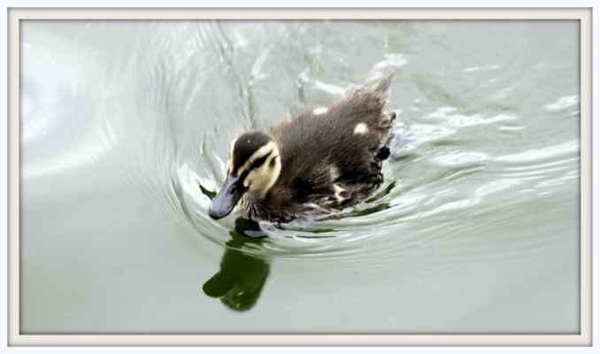 Káče na rybníku