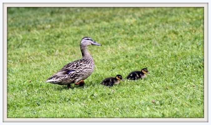 Kachní rodinka