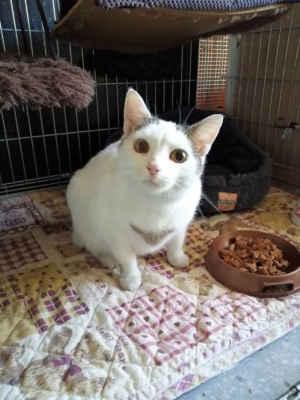 """26.8.2020 - Ve Strážnici na ulici B. Hrejsové se už několik dní zdržovala tato kočička. Bylo nám nahlášeno, že pravděpodobně je březí. Kočku jsme dnes přijali, ale je """"jen"""" tlustá, pravděpodobně kastrovaná, HLEDÁME MAJITELE! Kočka je umístěna do karantény. Volat můžete na 724 142 463."""