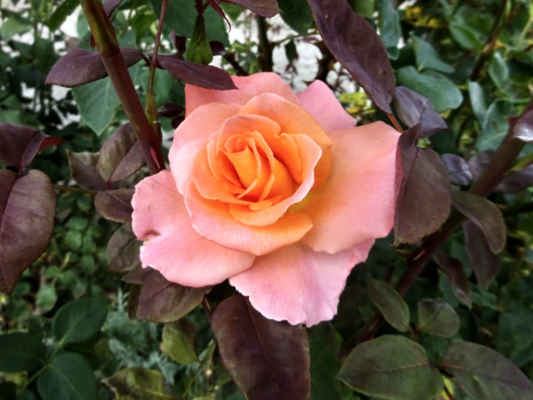 růžím se letos daří