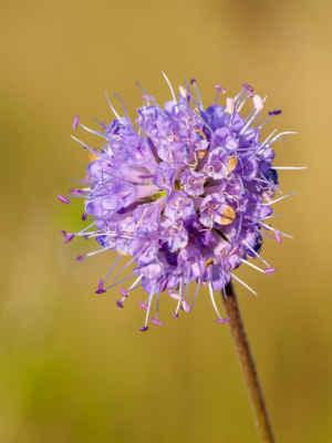 Čertkus lúčny (Succisa pratensis)