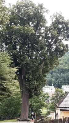 Horní Maršov - Tato lípa má 450 let.....